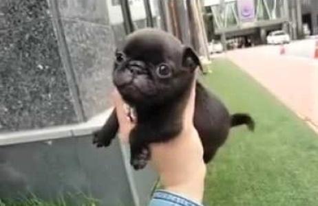 video tiny Pug puppy running