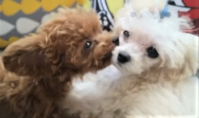 video toy poodle playing with sisters
