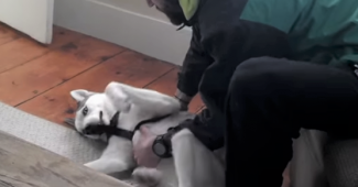 video Husky puppy refuses to go to kennel