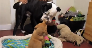 video dogue de bordeaux puppy playing meeting family dog