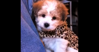 video charming teddy bear puppy