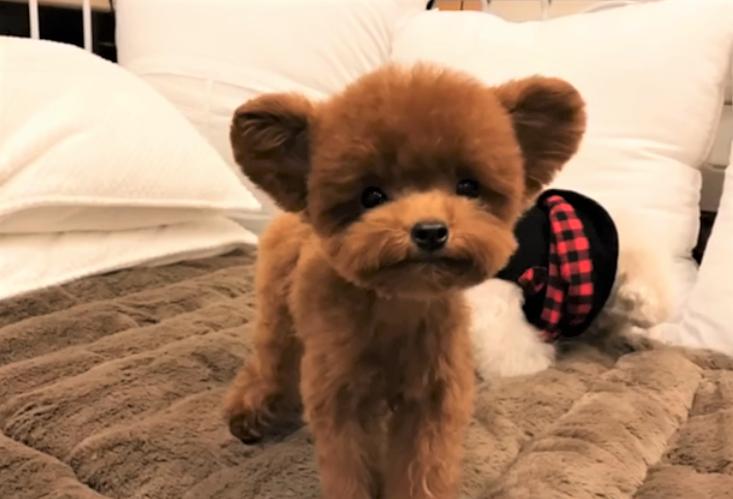video teddy bear dog Shu