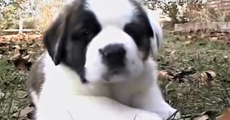 video Saint Bernard puppies playing