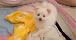 video Pomeranian Yuki first day home