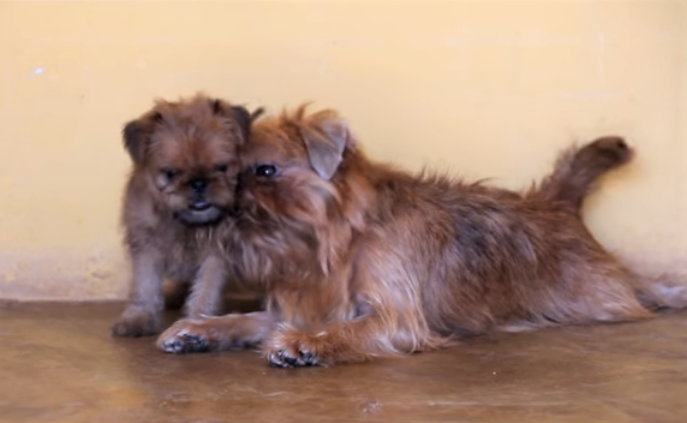 video Brussels Griffon mama playing with her puppy