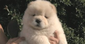 video-Chow-Chow-puppy-likes-getting-brushed