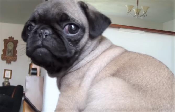 video Pug puppy camera shy