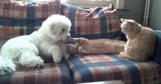 video Bichon Frise making friends with cats