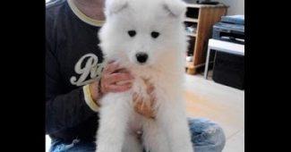 video Chubbi the Samoyed puppy