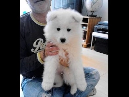 video Chubbi the Samoyed puppy