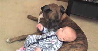 Boxer dog caring for baby