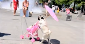 video Pug enjoys using stroller
