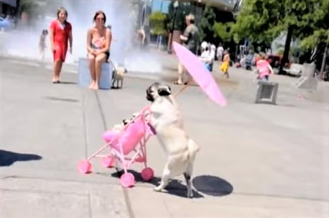 video Pug enjoys using stroller