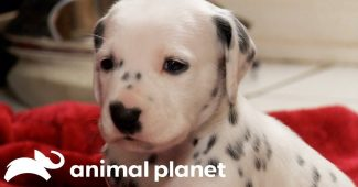 video dalmatian puppies growing up