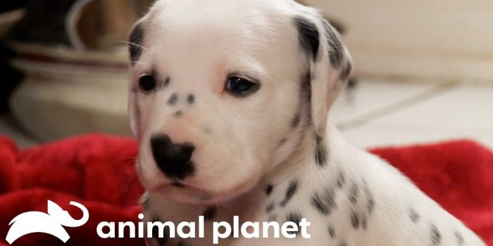 video dalmatian puppies growing up