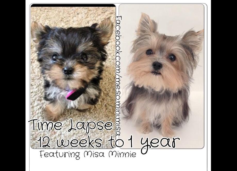video watch Yorkie Misa Minnie first year