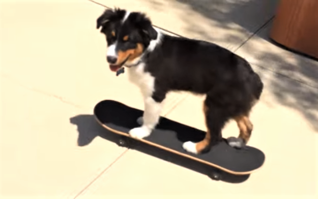 video Australian shepherd skateboarding