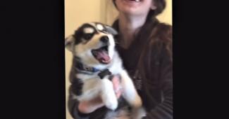 video Husky puppy sounds human