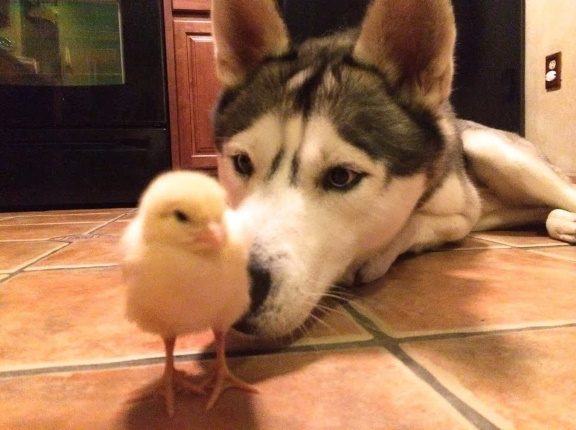 video Husky friends with baby duck