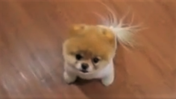 video Pomeranian BOO excited about lunch