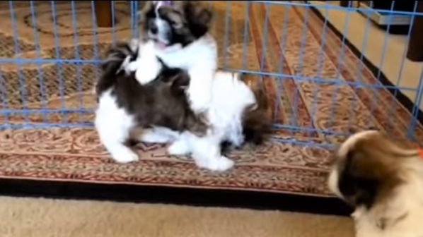video Maltese puppies playing