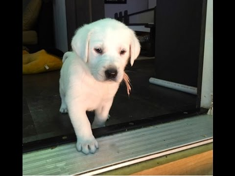 video English Labrador learning to use the stairs