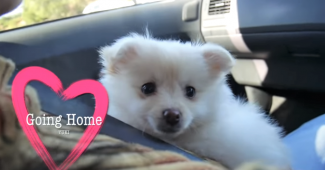 video Pomeranian puppy first day home