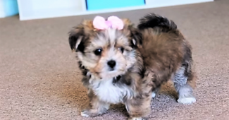 video Shorkie puppy playing