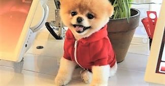 video Pomeranian BOO named official pet ambassador for airline