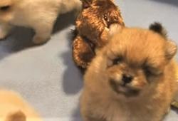 video pomeranian puppies playing