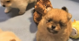 video pomeranian puppies playing