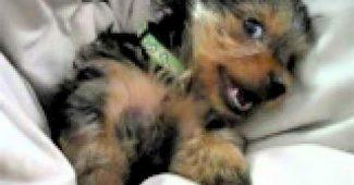 video Yorkie puppy waking up