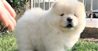 video Chow Chow puppy being camera shy
