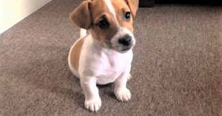 video Jack Russell Terrier puppy