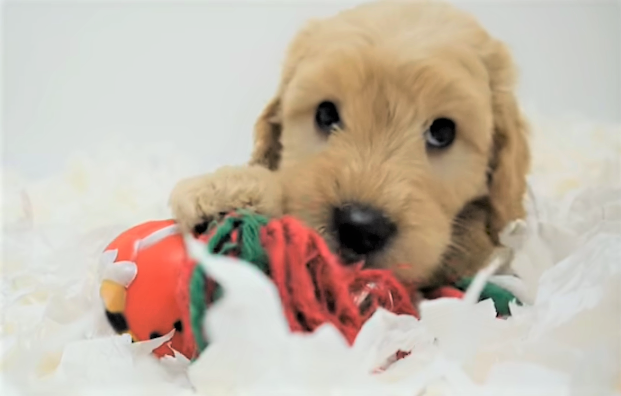 video mini labradoodle puppy entertaining himself
