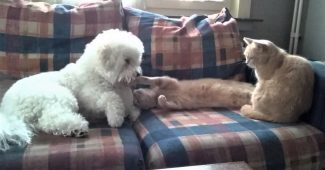 video bichon frise playing with cats