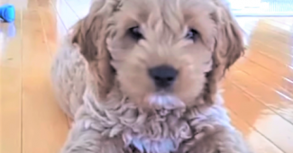 This Cockapoo puppy does not like the camera