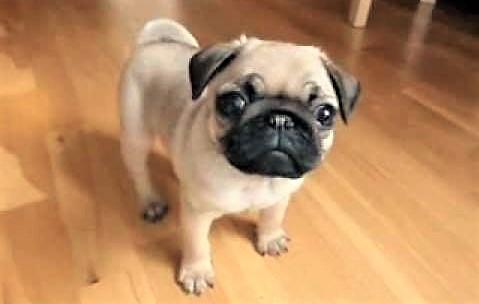 video Pug puppy