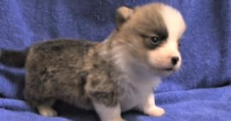video Corgi puppies playing