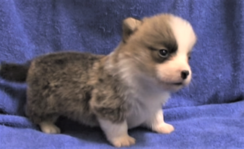 video Corgi puppies playing