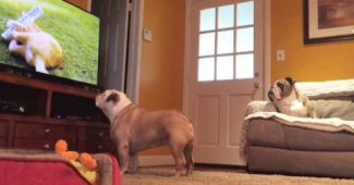 video Bulldogs watching TV