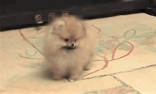 video Pomeranian puppy trained to walk near owner