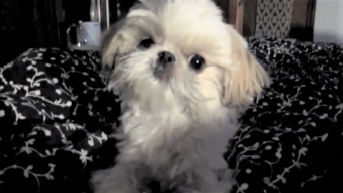 video shih tzu with sudden burst of energy