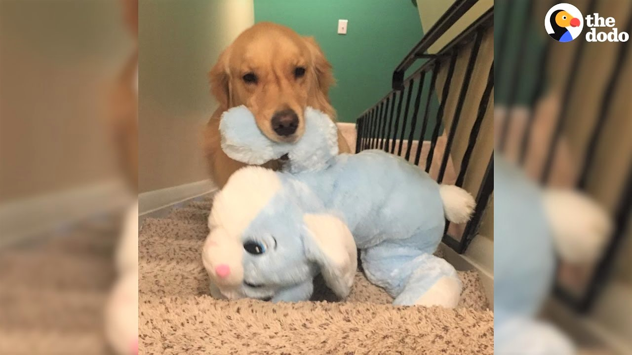 video golden retriever carrying toys in his mouth