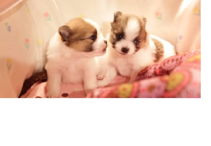 video Pomeranian puppies kissing