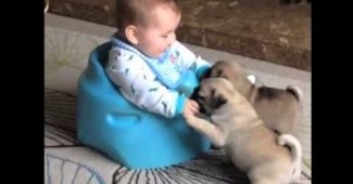 video Pug puppies playing with baby