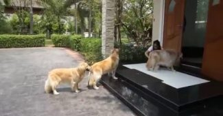 Golden Retrievers waiting to get their paws cleaned