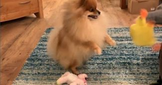 Pomeranian fascinated with a squeaky toy