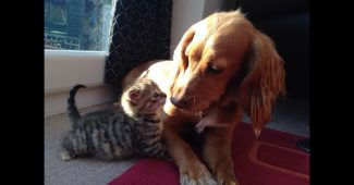 VIDEO dog and kitten friendship
